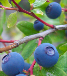 Wild Huckleberries
